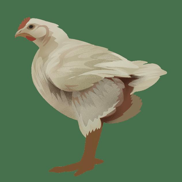 Om kylling