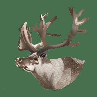 Om reinsdyr